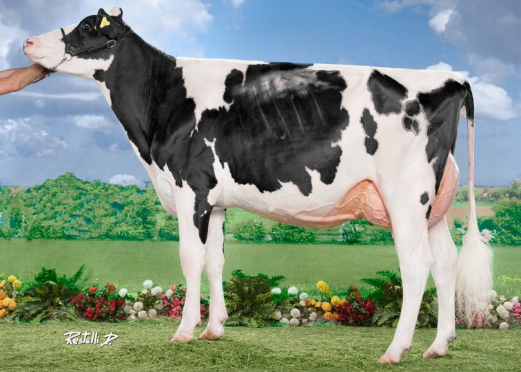 CPP Aftershock Pandora, VG-86 2YO | Daughter of 94HO14105 Aftershock | Junior Champion, All-European Championships 2016 | Owned by CPP Holsteins