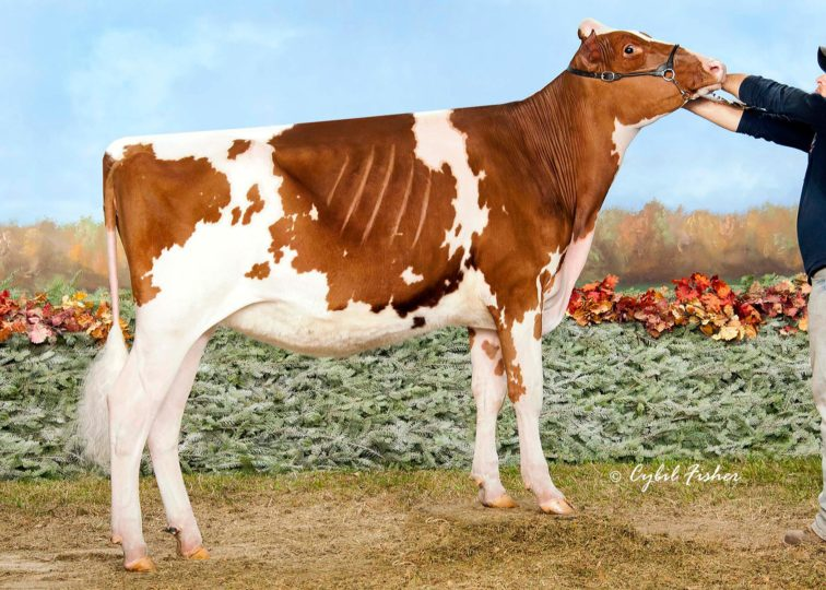 Reyncrest Ltng Radella-Red | Daughter of 94HO0900 Lightening-Red | Owned by Reyncrest Farms