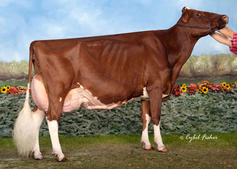KHW Regiment Apple-Red-ET, EX-96 3E | 2nd Dam of 94HO0895 Addiction-P-Red