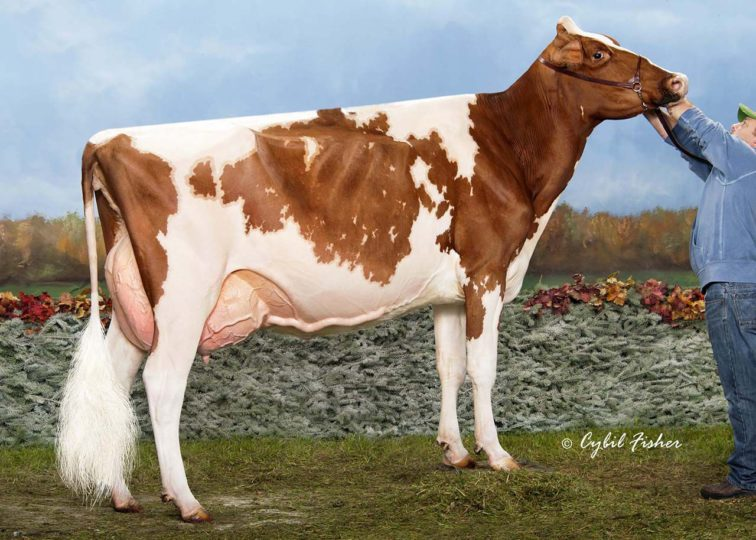 Greenlane Destry Laurel-Red, EX-93 | Daughter of 94HO13666 Destry*RC | Grand Champion, Western Fall National R&W & B&W Shows 2014 | Owned by Westcoast Holsteins