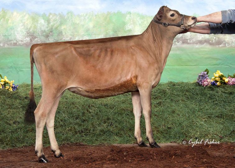 SSF Andreas Persephone | Daughter of 94JE4036 Andreas | 1st Winter Calf, New York Spring Show 2016 | Owned by Riley Bohrer