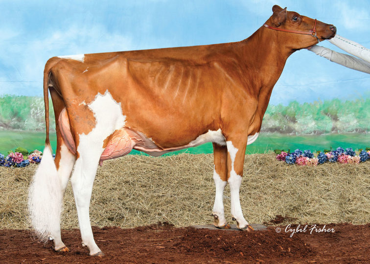 Ms Addiction Sophie-Red, VG-86 | Daughter of 94HO0895 Addiction-P-Red | Owned by Allison Galton