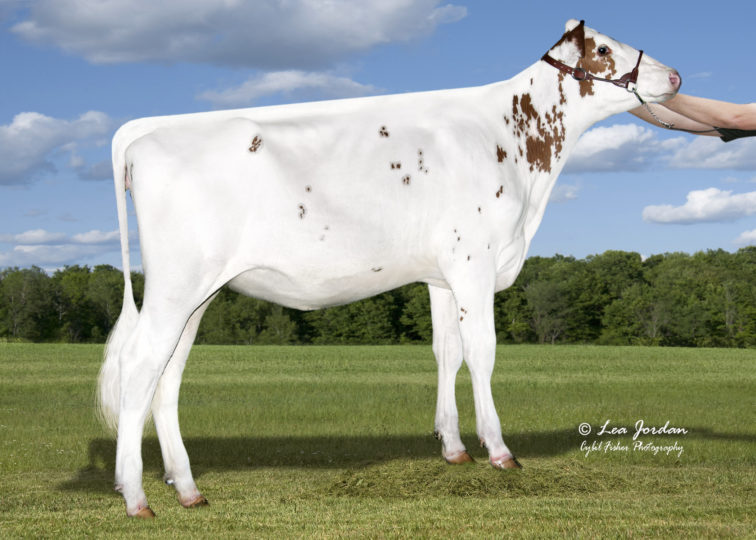 Nobland Addison Dixie-Red | Daughter of 94HO18820 Addison*RC | Owned by Ainsley Noble
