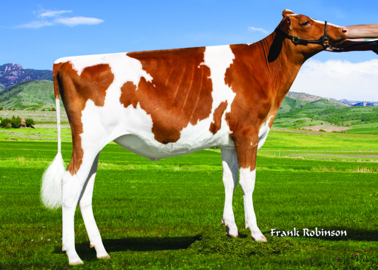 Ms-AOL Aristocrat Rista-Red | Daughter of 94HO0910 Aristocrat-Red | Owned by Logan Silveira