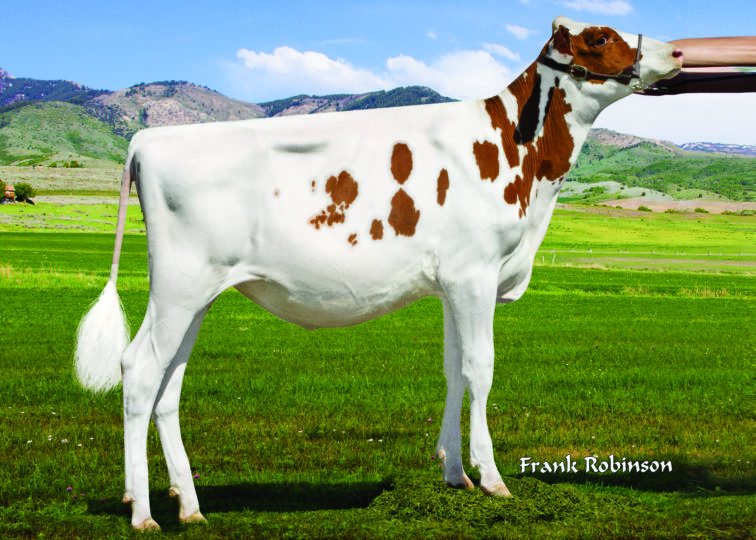 Eskdale Arscrt Lucy-Red | Daughter of 94HO0910 Aristocrat-Red | Owned by Xander Harris