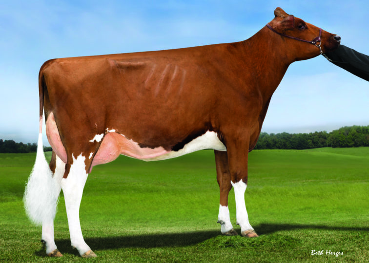 Kamps-Hollow Aneko-Red-ET, VG-86 | Daughter of 94HO0895 Addiction-P-Red | Owned by Andrew Stuewe